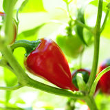 Pepper plant. Red chilli pepper plant in garden Stock Photography