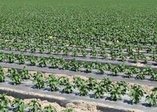 Pepper plant rows. Pepper plants fill the frame on a farm in the desert Stock Photography