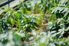 Pepper plant sprayed with protective mixture. Against infections Royalty Free Stock Image