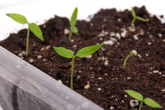 Pepper plant sprouted on soil indoor Royalty Free Stock Photography