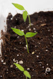 Pepper plant sprouted on soil indoor Stock Photos