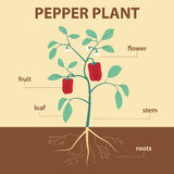 Pepper plant Stock Photos