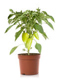 Pepper plant vegetables royalty free stock photo