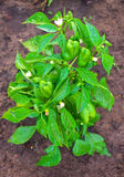 Pepper plant after watering. Royalty Free Stock Image