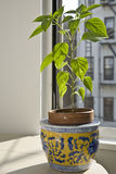 Pepper Plant in the Window. A pepper plant growing in the sunshine of an urban apartment window Stock Photos