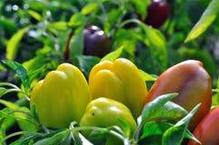 Pepper plantation Royalty Free Stock Image