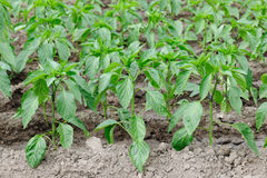 Pepper plantation Royalty Free Stock Image