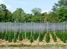 Pepper plantation in Phu Quoc, southern Vietnam Royalty Free Stock Image
