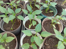 Pepper plantlets in a greenhouse Stock Photos