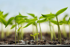 Pepper plantlets Royalty Free Stock Photo