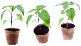 Pepper plants royalty free stock photography