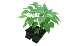 Pepper plants. Pepper plants in plastic container Stock Photos