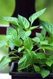 Pepper plants. Young pepper plant ready to transplant Stock Photos