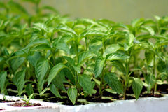 Free Pepper Plants Royalty Free Stock Photos - 6332298
