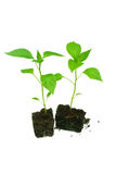 Pepper plants. Royalty Free Stock Photo
