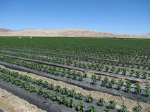 Pepper plants in the desert. Rows of pepper plants in a field in the California Desert Royalty Free Stock Photo