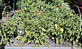Pepper plants on the garden Stock Photos