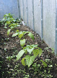 Pepper plants on the garden in the summer Stock Photos