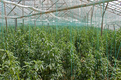 Pepper Plants. In an Industrial Green House Royalty Free Stock Photo