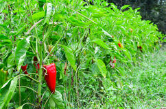 Pepper plants Royalty Free Stock Photos