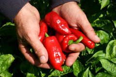 Pepper Production Royalty Free Stock Photography