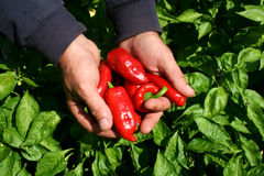 Pepper Production Royalty Free Stock Photo