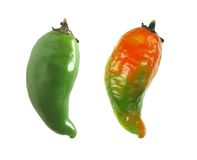 Pepper ripening. Close-up of fresh pepper ripening Royalty Free Stock Images