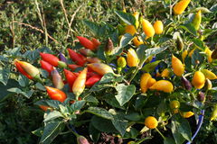 Pepper. Ripening fruits of Chili  pepper Royalty Free Stock Image