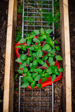 Pepper seeding Royalty Free Stock Image