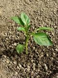 Pepper seedling Stock Photography