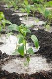 Pepper seedling Stock Image