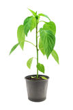 Pepper seedling close-up. Pepper seedling isolated on a white background Stock Photography