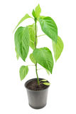 Pepper seedling close-up. Pepper seedling isolated on a white background Royalty Free Stock Photo