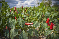 Pepper chili seedling field Royalty Free Stock Images