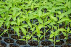 Pepper seedling growing in  tray Royalty Free Stock Images