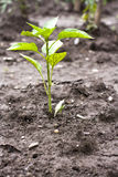 Pepper seedling Stock Photography