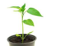 Pepper seedling on a white background Royalty Free Stock Photo