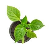 Pepper seedling on a white background. Pepper seedling isolated on a white background Royalty Free Stock Photos
