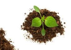 Pepper seedling on white background Stock Image