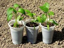Pepper seedlings Stock Image