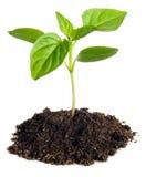 Pepper seedlings. Isolated on white Stock Image