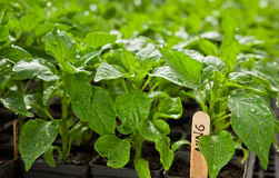 Pepper seedlings. Sweet or hot pepper seedlings at a commercial organic farm Stock Image