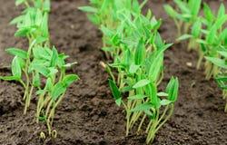 Pepper seedlings Stock Images