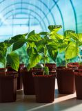 Pepper seedlings in greenhouse royalty free stock image