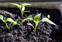 Pepper seedlings illuminated by the sun stock image