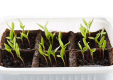 Pepper seedlings in a nursery Royalty Free Stock Image