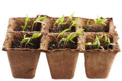 Pepper seedlings in a nursery Stock Images