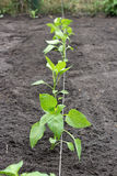 Pepper seedlings Royalty Free Stock Image