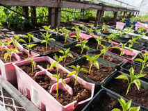 Pepper seedlings plants in plastic containers. In a greenhouse Royalty Free Stock Image