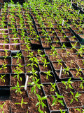 Pepper seedlings plants in plastic containers Royalty Free Stock Images